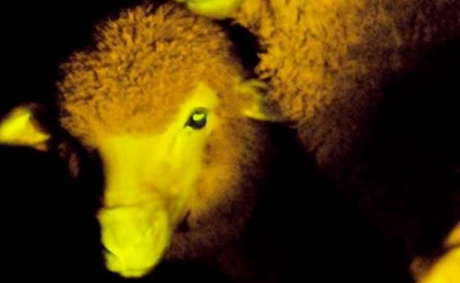 Uruguay sheep