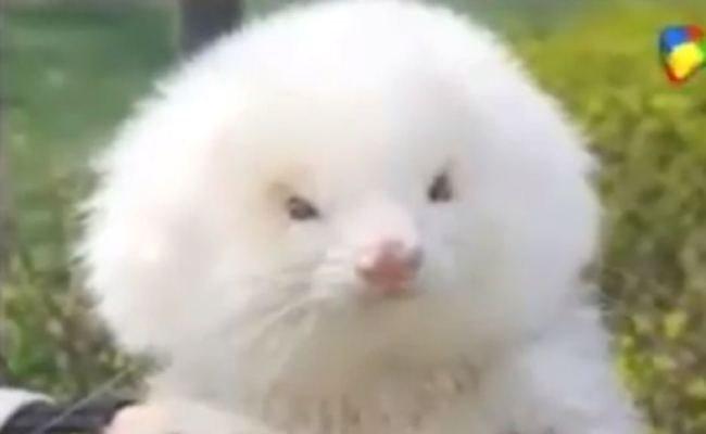 ferretpoodle