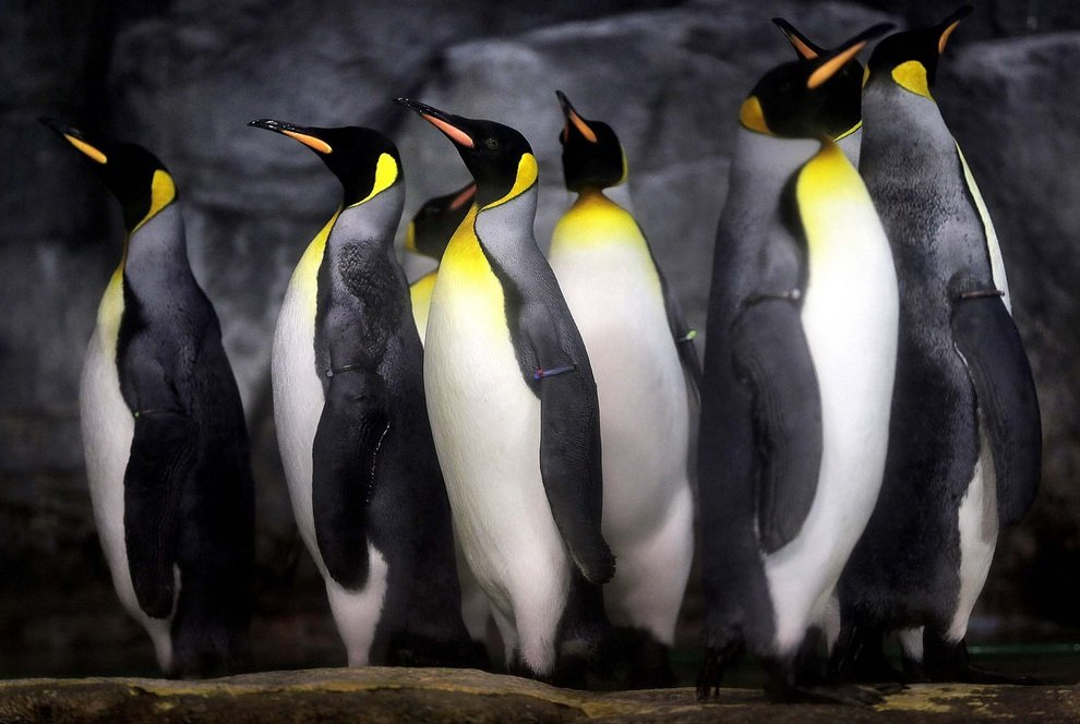 Королевские пингвины веселят посетителей аквариум-парка Hakkeijima Sea Paradise, Йокогама, Япония.
