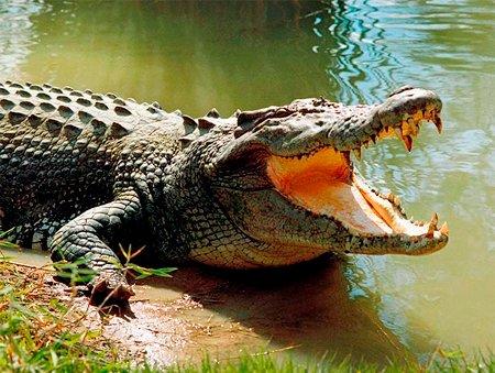 Экскременты крокодила как способ контрацепции